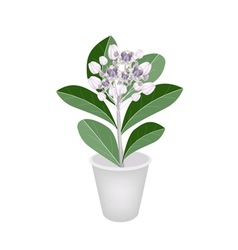 Fresh calotropis gigantea in a flower pot vector