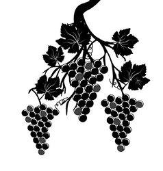Grape clusters on the vine vector