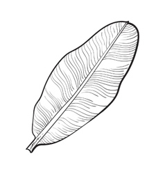 Full fresh leaf of banana palm tree sketch vector