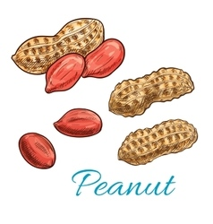 Peanut isolated sketch of fresh groundnut vector