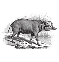 East indian wild hog vintage vector
