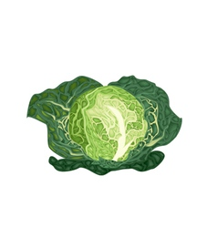 Fresh green savoy cabbage on white background vector