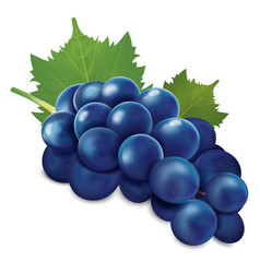 Blue grapes bunch vector