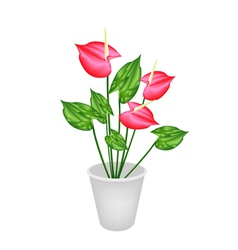 Anthurium Flowers or Flamingo Lily in A Flower Pot vector image