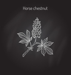 Horse chestnut or conker tree aesculus vector