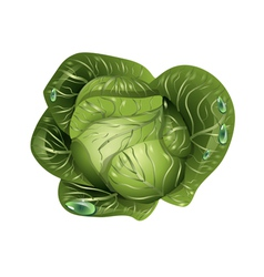 Cabbage with drops of water vector