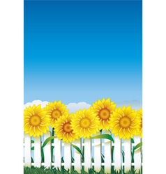 Sunflower behind white fence vector