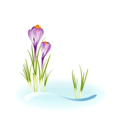 Spring crocuses vector image vector image