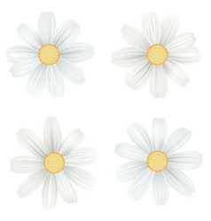 set of isolated white camomile daisy vector image