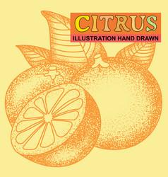 Hand drawn citrus vector