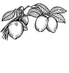 Lemon branch vector