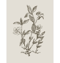 Periwinkle or vinca minor vintage engraved vector