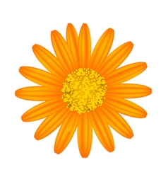 Orange daisy flower on a white background vector