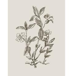Periwinkle or Vinca minor vintage engraved vector image