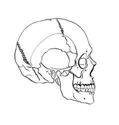hand drawn line art anatomically correct human vector image