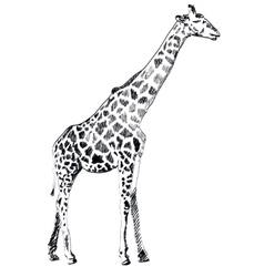 Hand drawn of Giraffe on white vector image vector image
