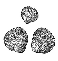 cockle clam drawing engraving ink vector image vector image
