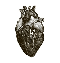 Human anatomical heart vector