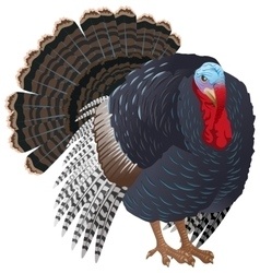 Black big turkey bird male turkey for vector