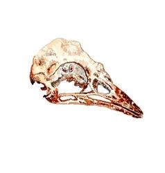 Bird Skull vector image