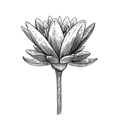 Engraved lotus vector image