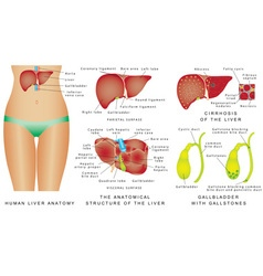 Liver and Gallbladder vector image vector image