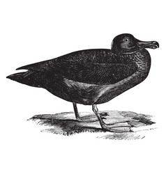 Sooty albatross vintage vector