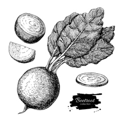 Beetroot hand drawn set Vegetable engraved vector image