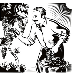 Man in an attempt to seize the vineyard ripe vector