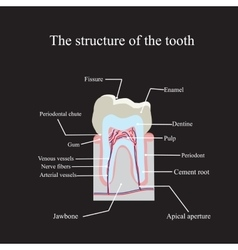 The anatomical structure of the tooth on a black vector