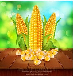 Background with grains and cobs of corn on a vector