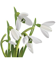 Spring snowdrop flowers bouquet isolated on white vector