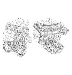 Hepatic cells and bile capilaries vintage vector