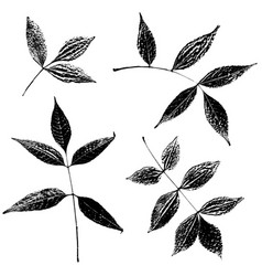 set of ash leaves silhouettes vector image