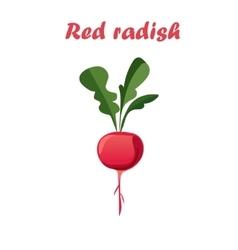 Red radish vector