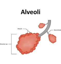 Alveoli alveolar sac of the lung vector