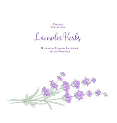Invitation card with lavender flowers vector