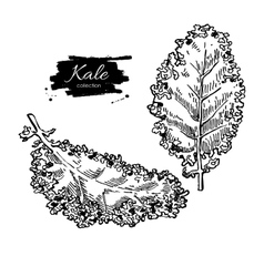 Kale hand drawn set vegetable engraved vector