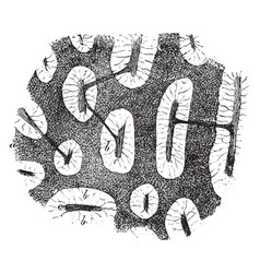 Medullary substance of an inguinal gland vintage vector