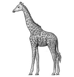 giraffe drawing engraving ink vector image vector image