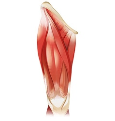 Muscle vector image
