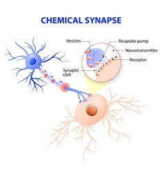 typical chemical synapse vector image vector image
