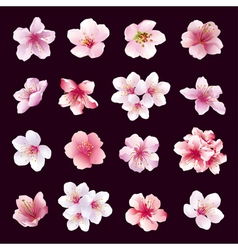 Set of flowers of cherry tree isolated vector image