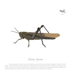 Locust on white background image grasshopper vector