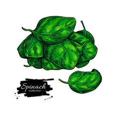 Spinach leaves hand drawn heap vegetable vector