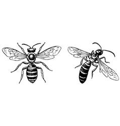 halictus sweat bee vector image vector image
