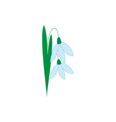 snowdrop flower isolated vector image