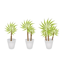Beautiful Dracaena Plant in Three Flower Pot vector image