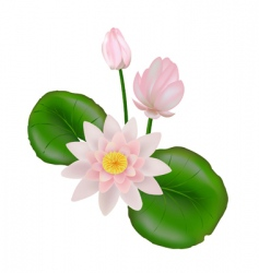 lotus with leaves vector image vector image