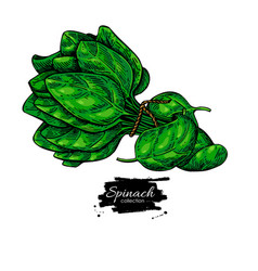 Spinach leaves bunch hand drawn vegetable vector